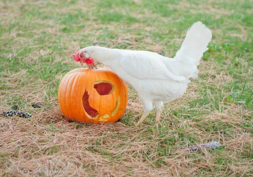 "Celebrate Fall and Boktober by carving this easy ""Chicken O' Lantern""!"