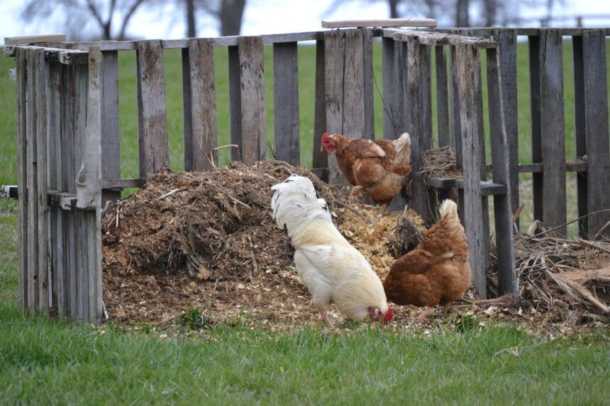 Poultry Manure: Benefits Of Gardening With Chickens | Meyer Hatchery