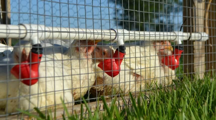 Meyer Hatchery Chicken Tractor Tour
