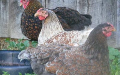 Why Blue Chicken Breeds May Not Look Blue