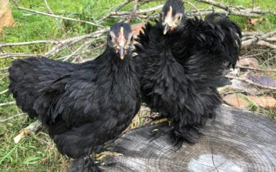 Why Isn't My Frizzle Chick Frizzled?