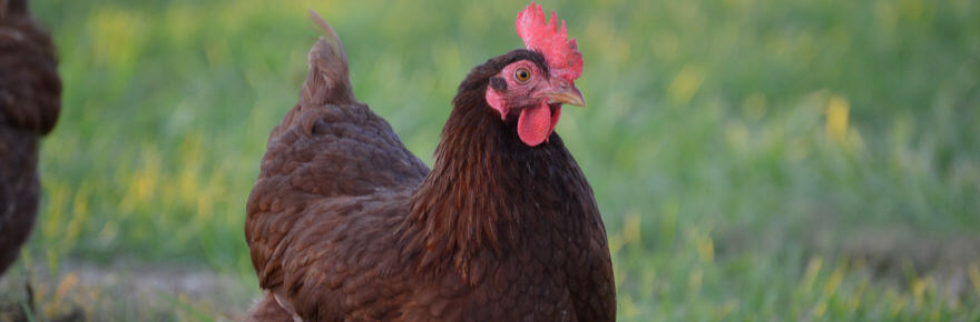 Breed Spotlight: The Rhode Island Red