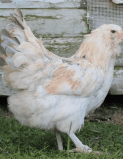 Chicken Breeds that Handle Winter Well Blog