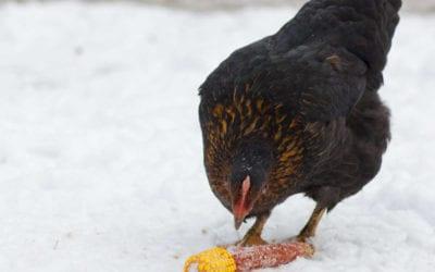 Winter Chicken Keeping Tips