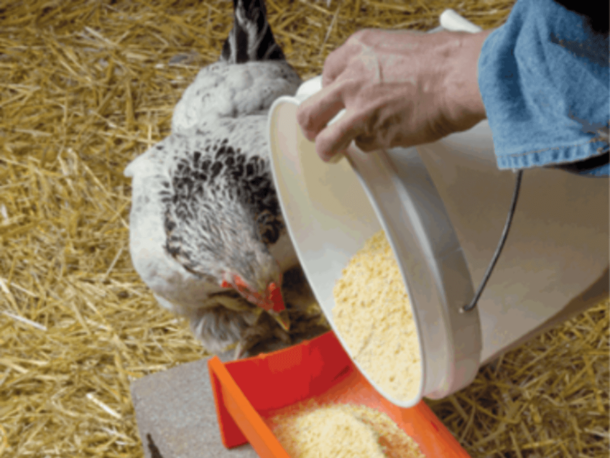 Poultry Feed Storage Guidelines | Meyer Hatchery Blog