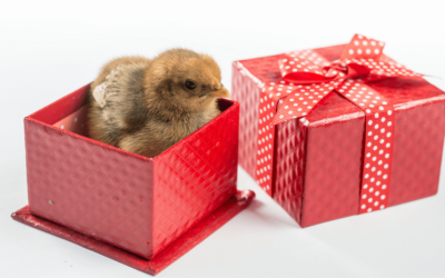 Surprise! Why Day Old Chicks Might Not Be The Best Gift