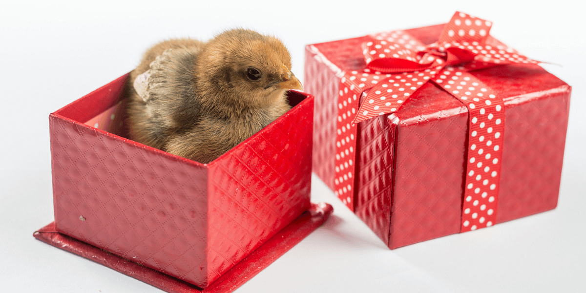 Surprise! Why Day Old Chicks Might Not Be The Best Gift Blog