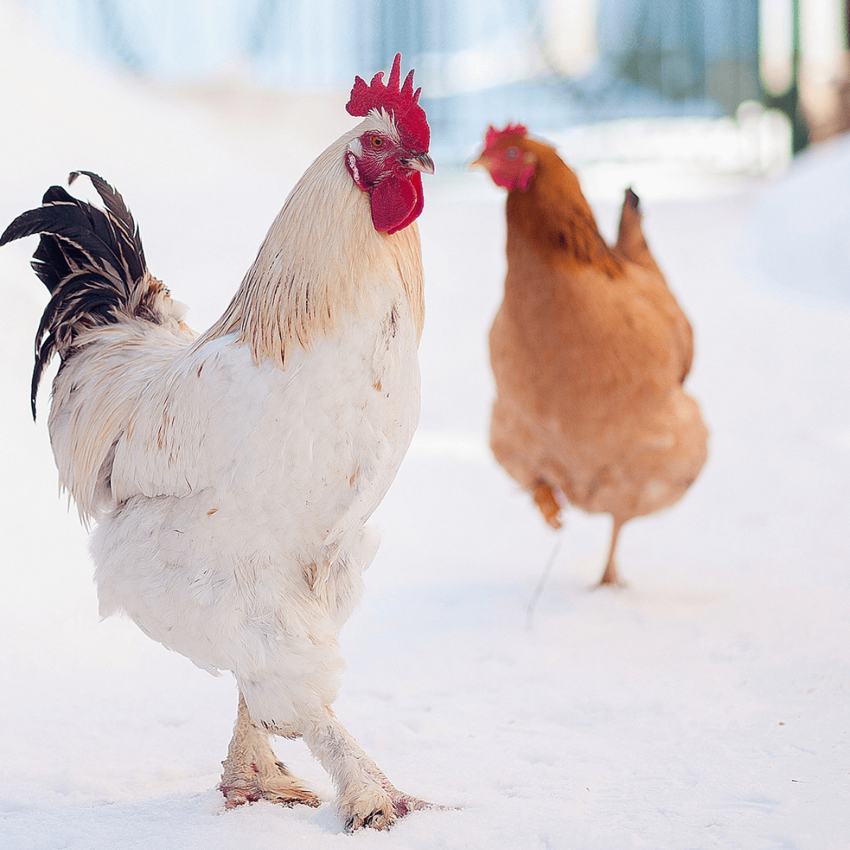 How Do Chickens Stay Warm in the Winter