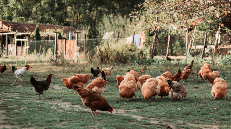 Why My Chickens are Priceless During Covid-19