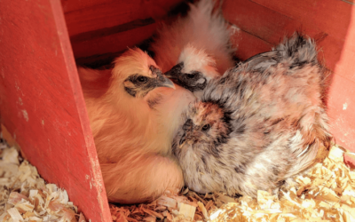 Broody Hens & Winter