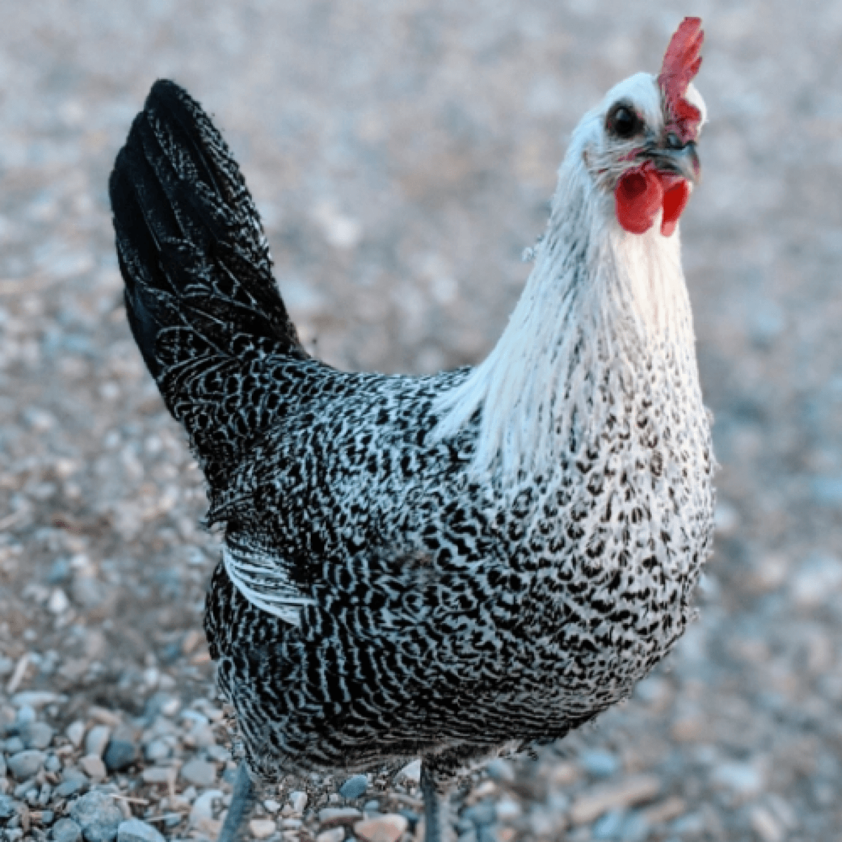 Best Free Ranging Breeds Blog