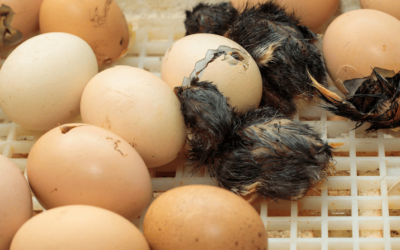 Hatching Egg Issues: Possible Causes And Corrections