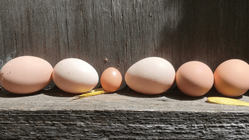 Chicken Egg Quality Issues