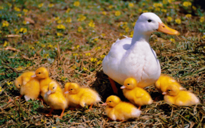 Common Waterfowl Illnesses and Treatments