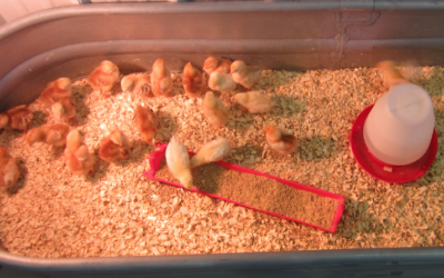 My Chicks are Dying: What's Wrong?