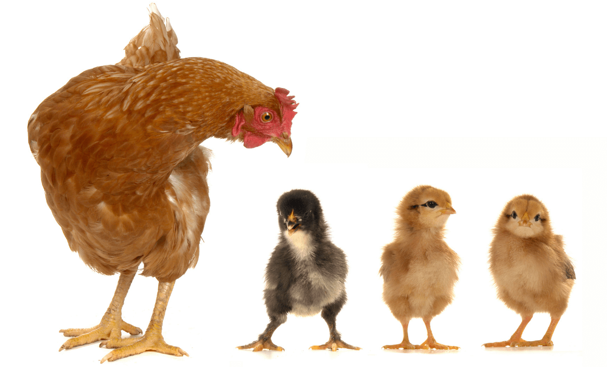 Which Is Better? Day-Old Chicks Vs. Started Pullets