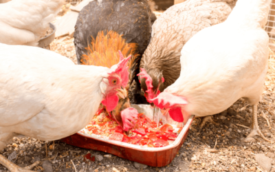 Foods To Avoid Feeding To Your Chickens