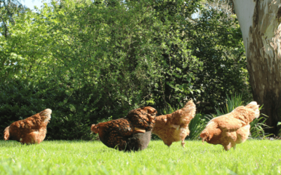 The Basics of Free Ranging Chickens