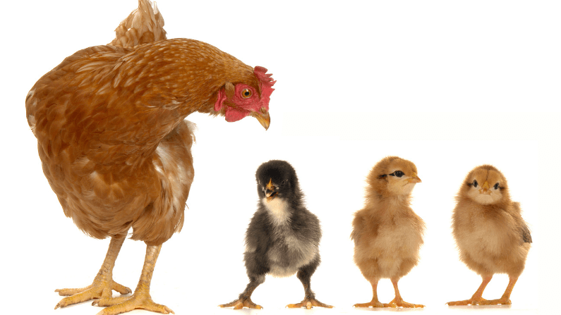 Which Is Better? Day-Old Chicks or Started Pullets