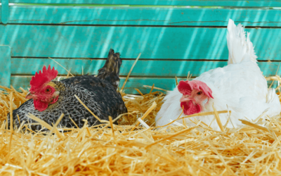 How to Identify and Treat an Egg Bound Hen