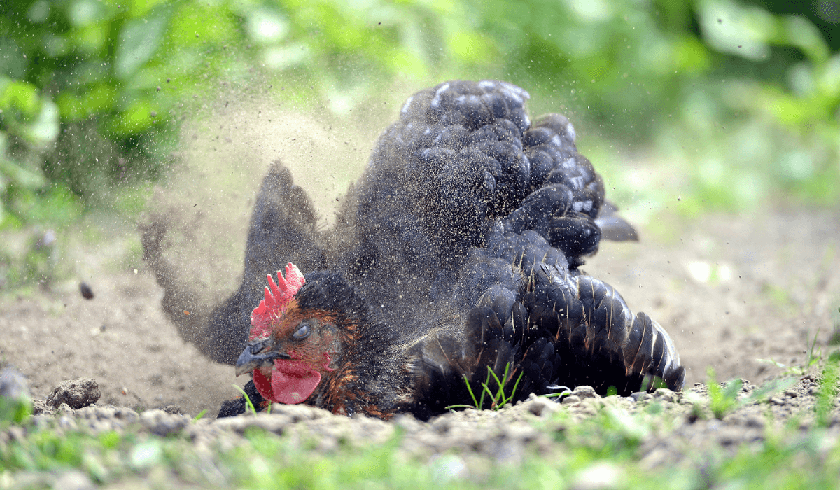 Dealing with Poultry Mites