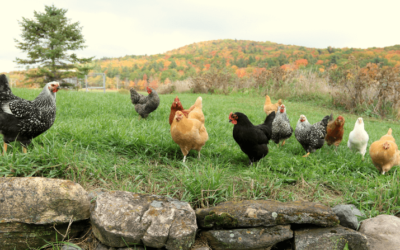 Top 5 Reasons To Raise Chicks In The Fall